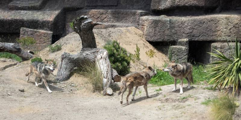 Three Mexican Wolf brothers explore their new enclosure at the SF Zoo. The exhibit uses technology to limit their interaction with humans.