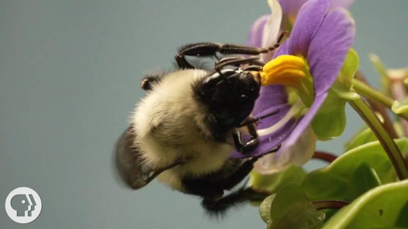 This Vibrating Bumblebee Unlocks a Flower's Hidden Treasure