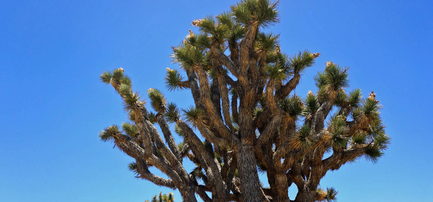 Joshua tree habitat is expected to shrink dramatically because of climate change. Lauren Sommer/KQED