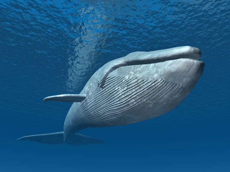 Blue whales have been on Earth for over 53 million years. The largest animal ever to have graced our planet, they are massive, majestic and endangered, but making a comeback on the California coast. They can grow to be over 100 feet long and can weigh over 200 tons. They have a lifespan of up to 90 years.