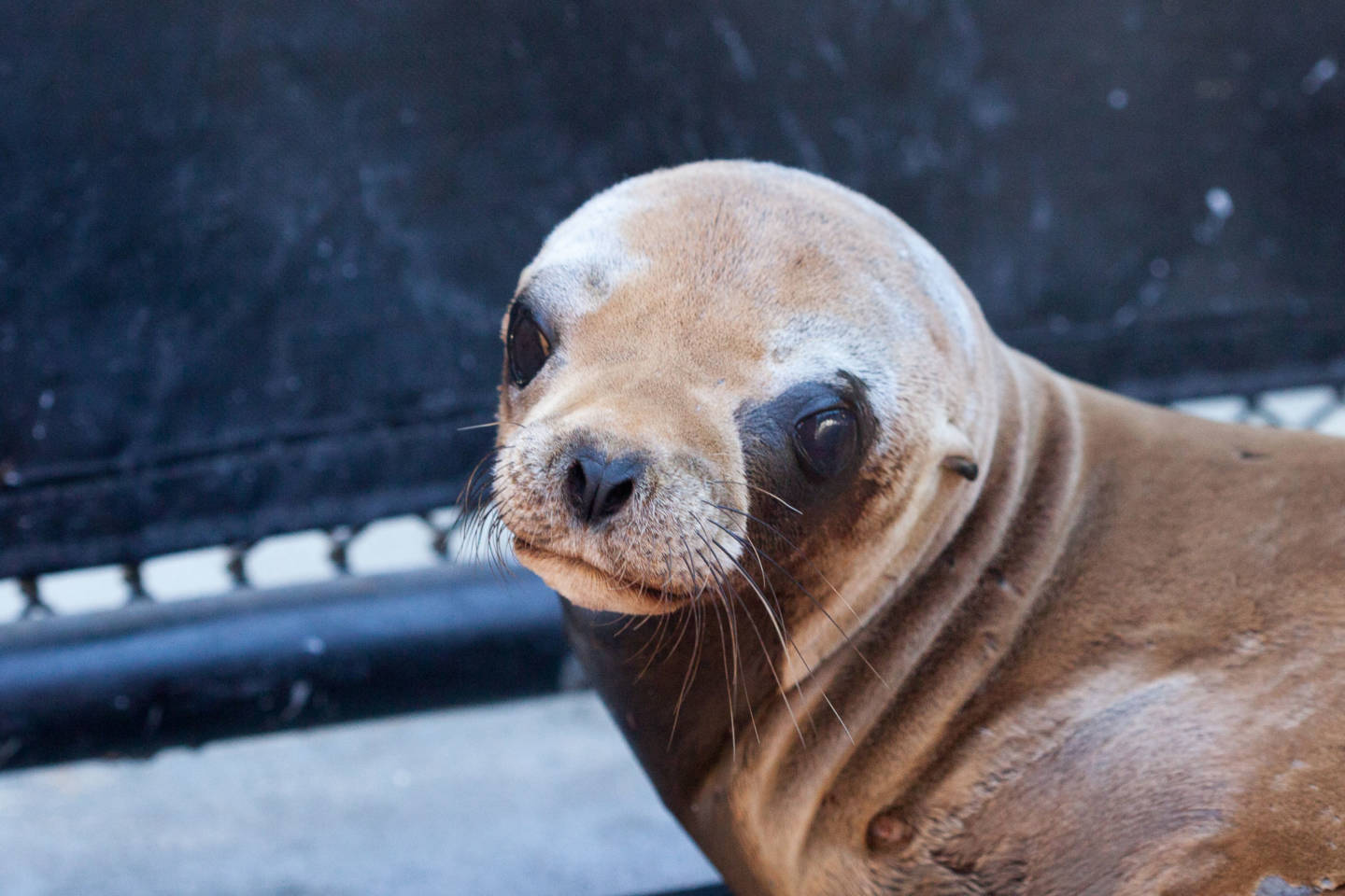 Scientists investigate a mysterious cancer plaguing california sea a sea lion pup recovers from sedation after being x rayed josh valcarcel publicscrutiny Images