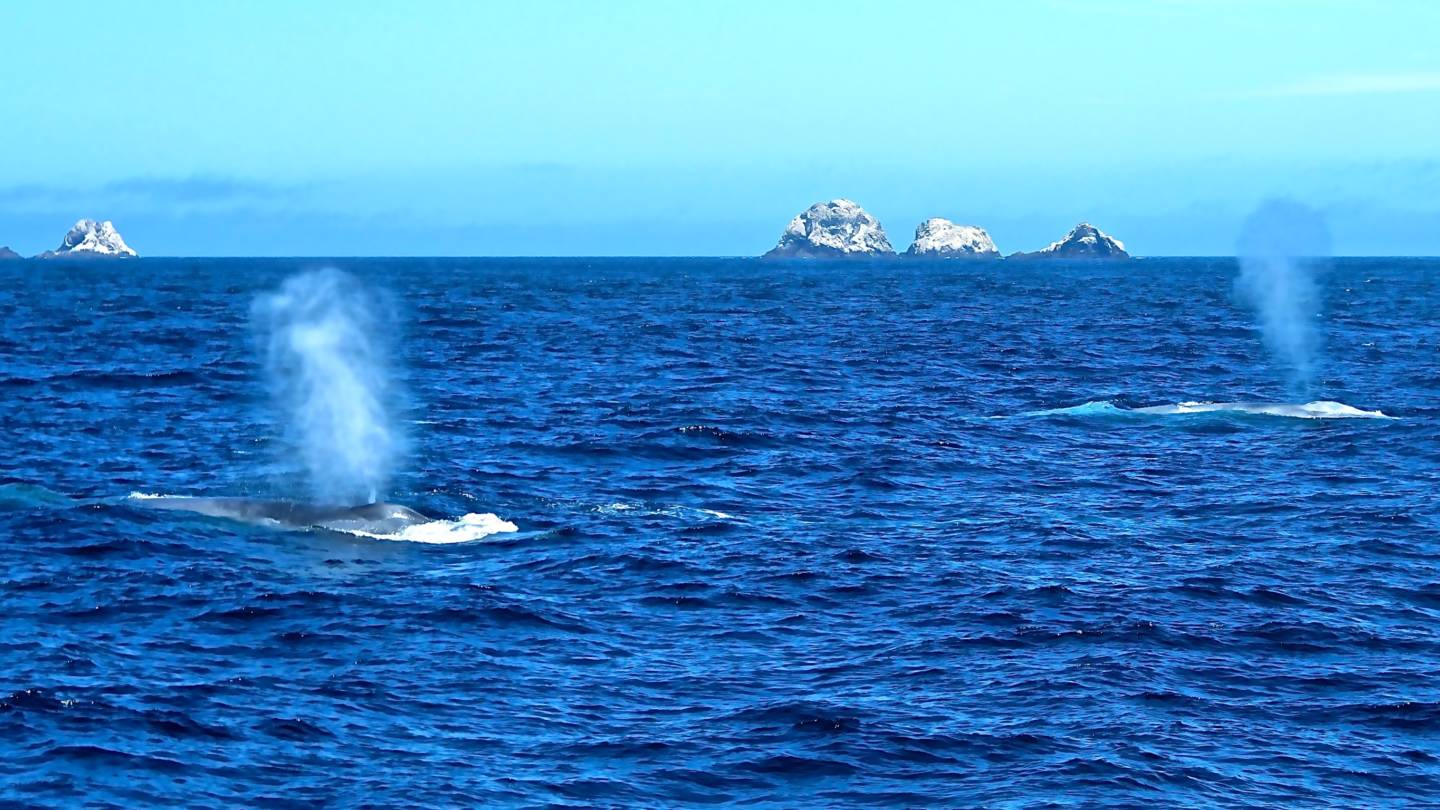 Blue whales spouting in front of the Farallon Islands  off the North Central California Coast.  Found 30 miles out from the San Francisco Bay, these  islands are a hotspot for biodiversity. Aurora MacRae-Crerar/KQED