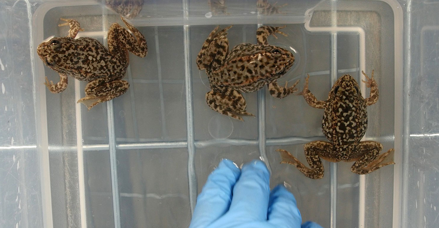 Mountain yellow-legged frogs get an experimental vaccination at the San Francisco Zoo.