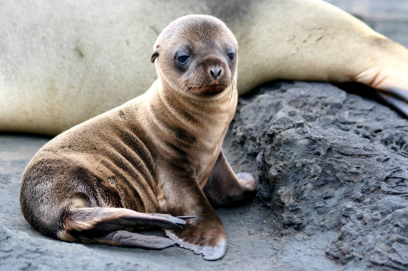 Unusually warm waters brought in by a combination of El Ñino and the Blob in late 2015 to early 2016 were not good for sea lion pups. These anomalously high temperatures disrupted the marine food chain, leaving the pups malnourished. This has lead to the recent high rates of sea lion pup mortality.