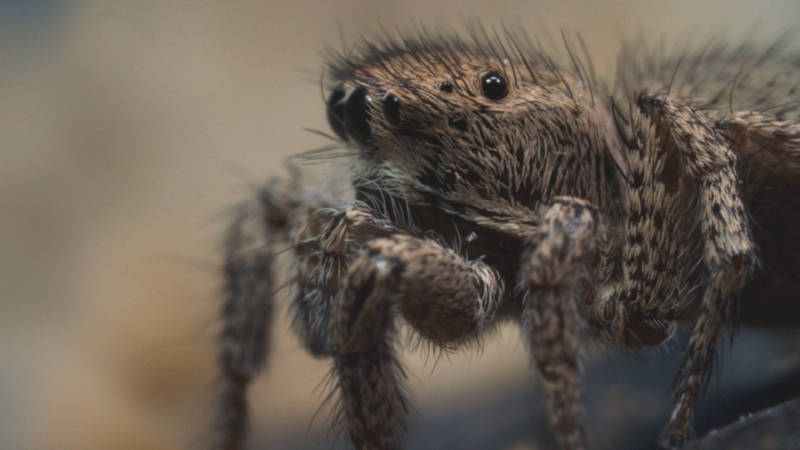 A jumping spider female looks on as a male attempts to court her.