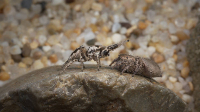 A male jumping spider performs his song and dance routine for a female.