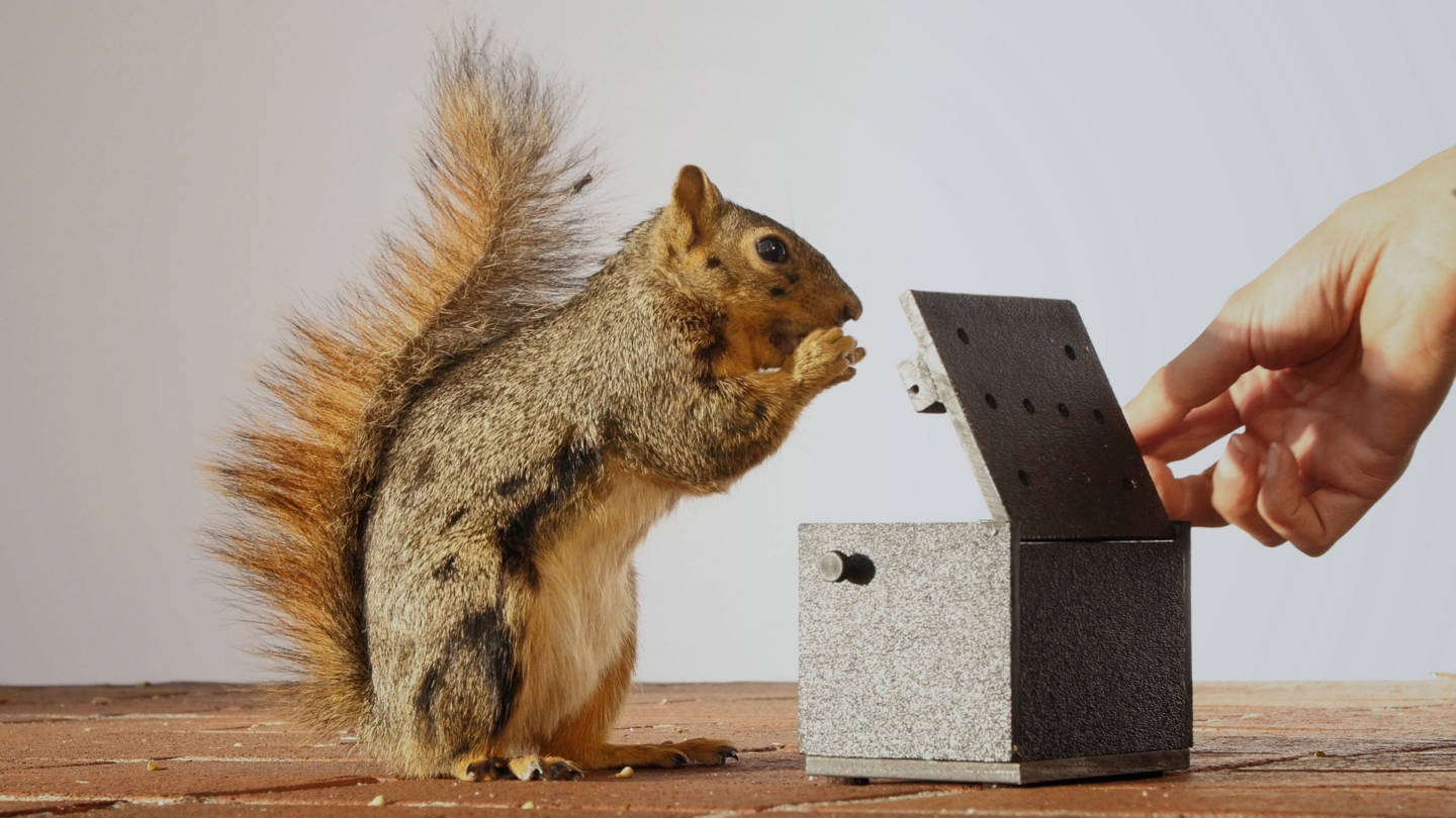 University of California, Berkeley, animal behaviorist Mikel Delgado trained fox squirrels to expect a walnut each time they opened a box.