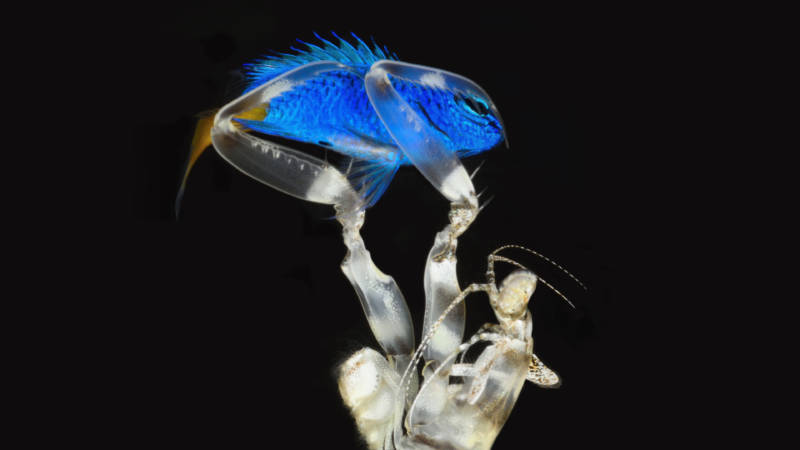 A damsel in distress: A spearing mantis shrimp captures its next meal, a damselfish.