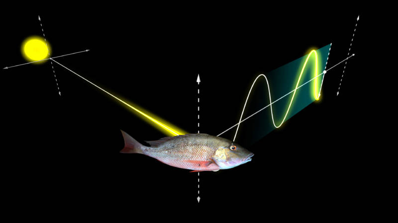 When light strikes certain surfaces in the environment, it becomes polarized and begins to move in a single plane.