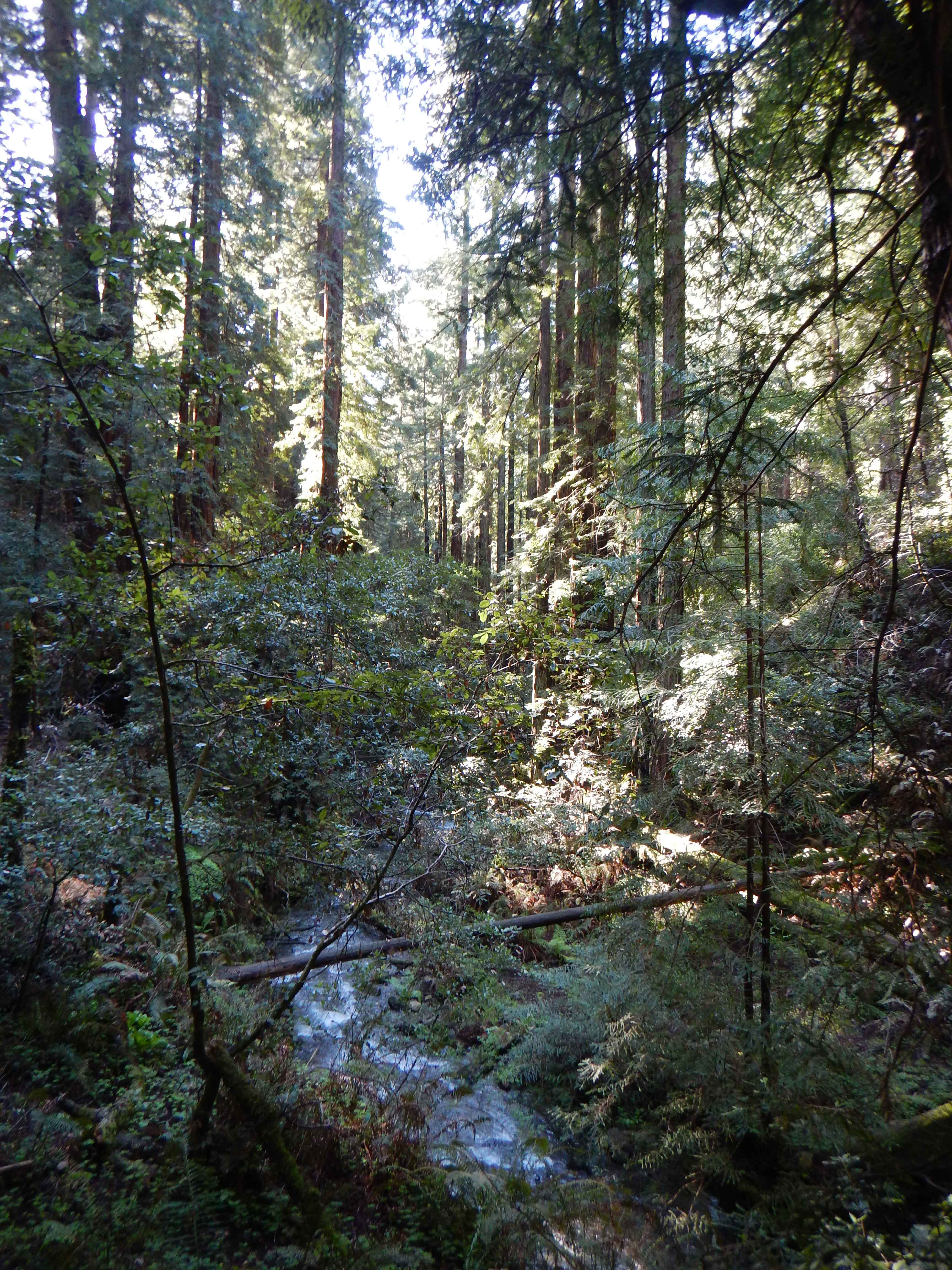 Second-growth redwood forests on Mt. Tam.