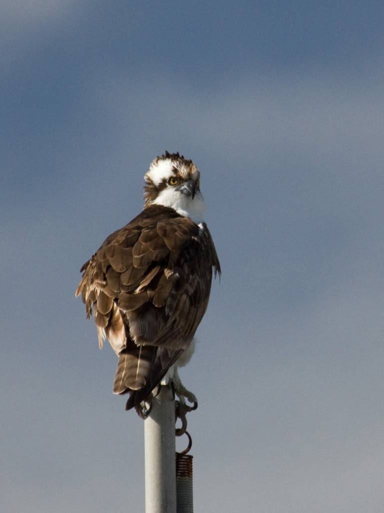 Ospreys are raptors that breed in the lakes and reservoirs in the Mt.Tam area.