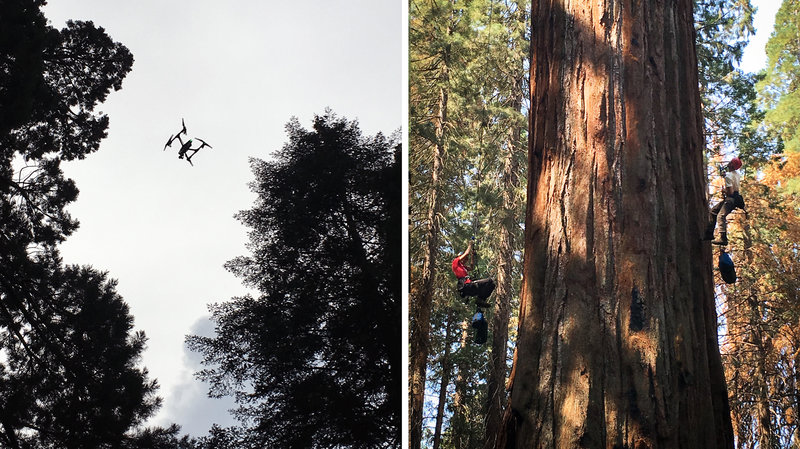 Left: Dawson's team is experimenting with drones, which capture images of light reflected off the canopy. This light helps scientists get a sense of how stressed the tree is. Right: Rikke Naesborg (left) and Cameron Williams have spent hundred of hours in Odin's branches, taking measurements.