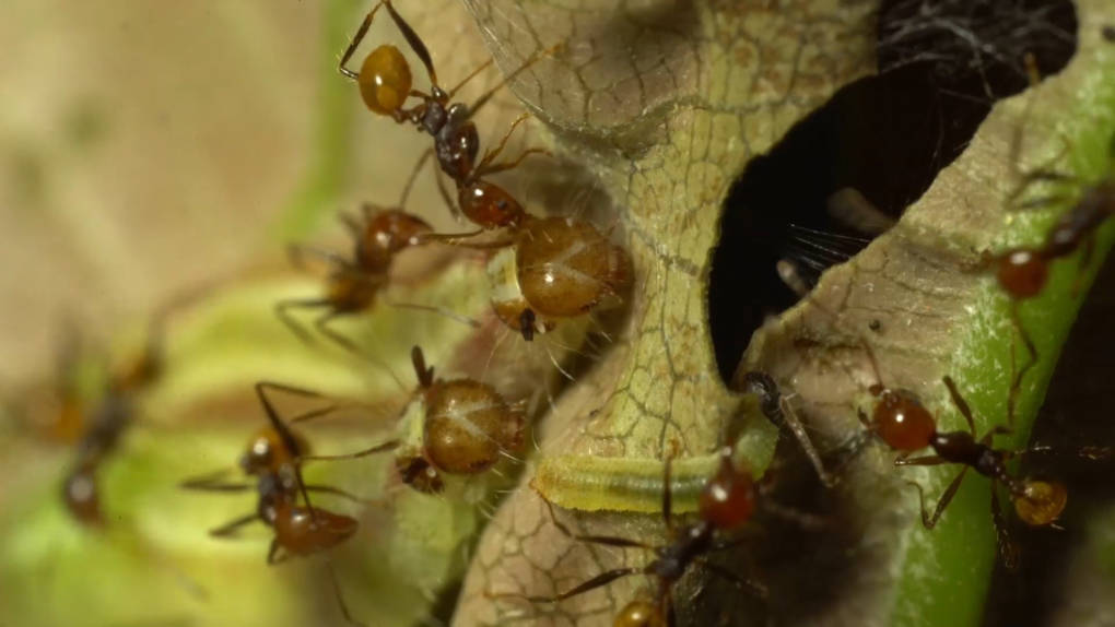 Big-headed ants tending Riodinid caterpillars. The ant's feed on honeydew secreted by the caterpillars.