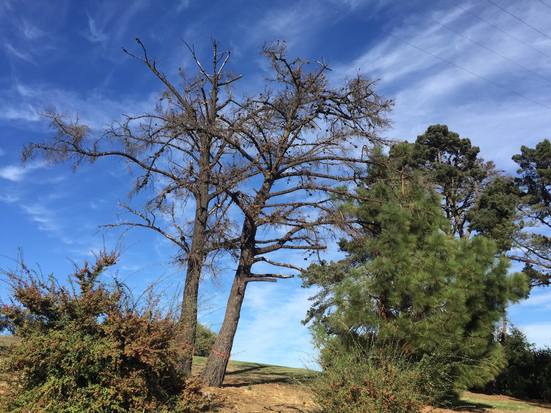 It's not just remote forests: Monterey pines that succumbed to the drought, tagged for removal in a city park in Vallejo.