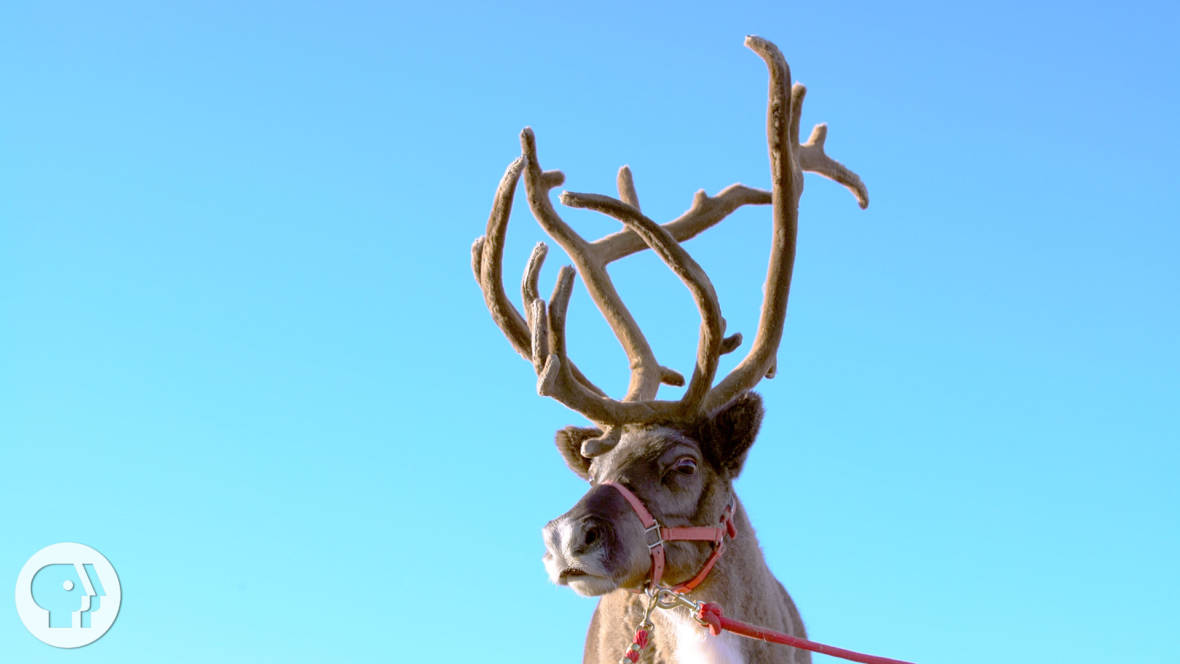 Rudolph's Antlers Offer Clues for Regenerating Nerves