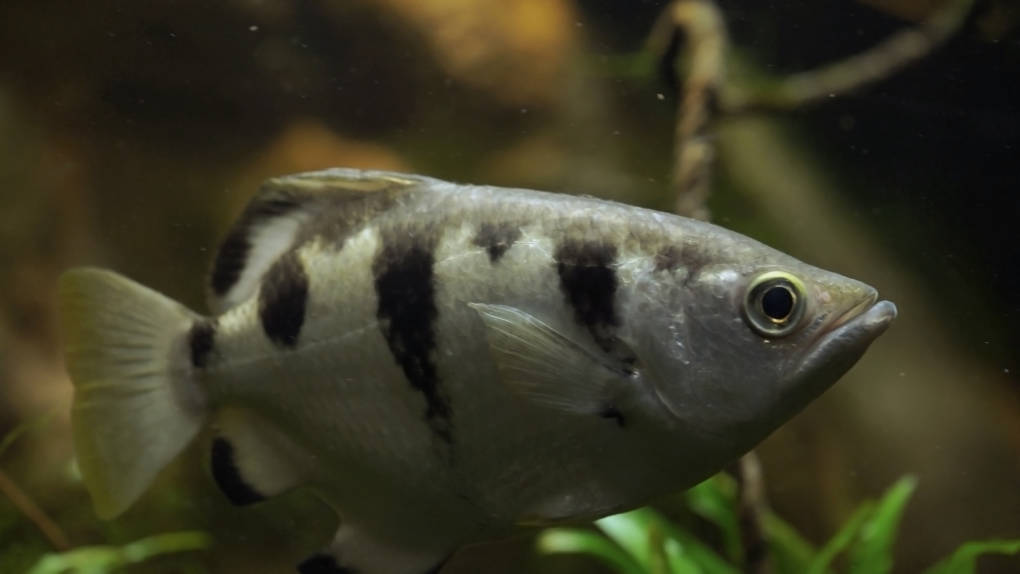Archerfish like this one at the California Academy of Sciences live in the mangrove forests of Asia and Australia.