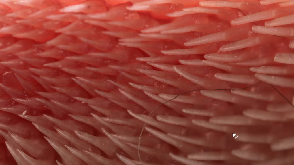 The spines on a cat's tongue point in the same direction, making it easier to free the shed fur off of the tongue and back towards the cat's throat