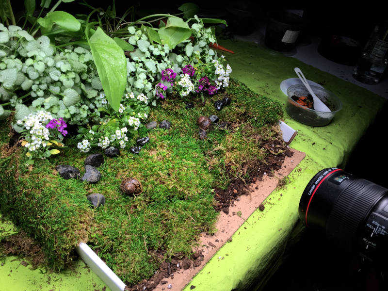 To film snails copulating, the Deep Look team built a tabletop snail love garden.