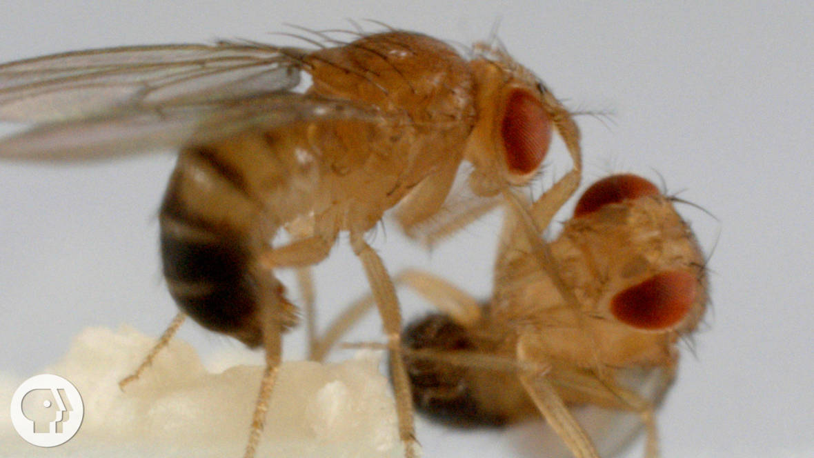 These Fighting Fruit Flies Are Superheroes of Brain Science