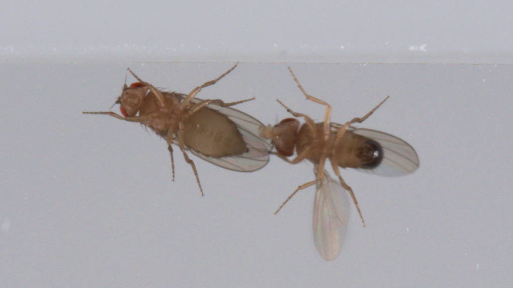 To flirt, fruit flies lift and vibrate one wing. Researchers at Caltech discovered that the same group of neurons controls both flirting and fighting.