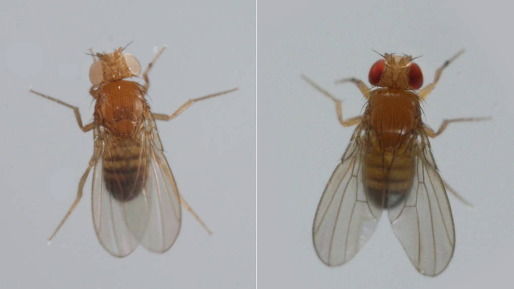 A mutant white-eyed fruit fly like the one on the left helped biologist Thomas Hunt Morgan in 1910 figure out how genes get passed on from generation to generation. Normally, fruit flies have red eyes.