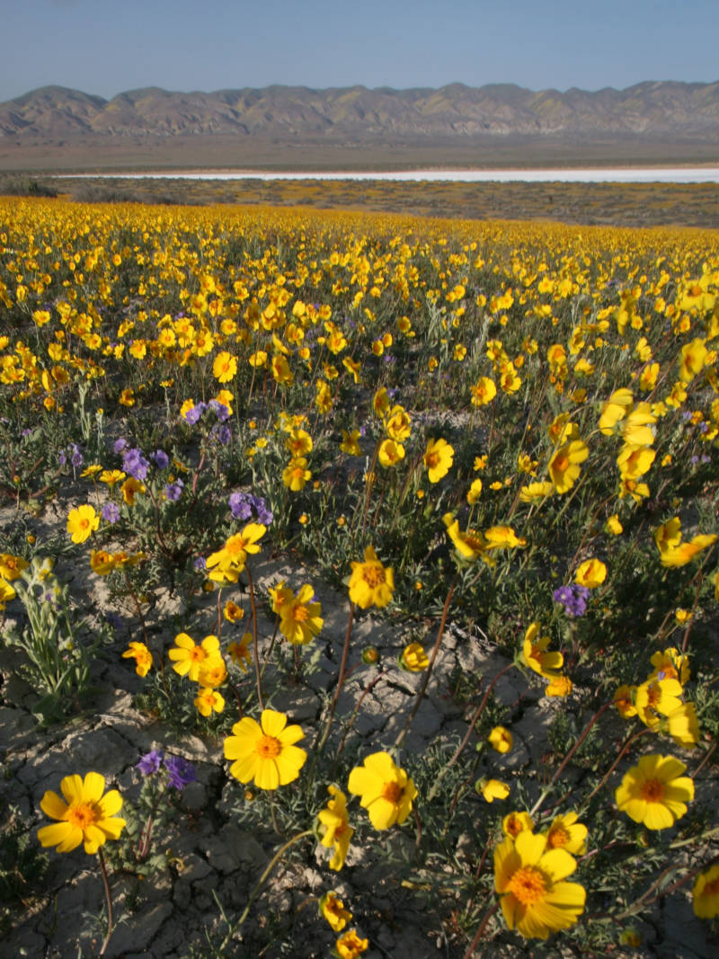 Carrizo Plain National Monument is bursting with flowers after one of the wettest winters in years.