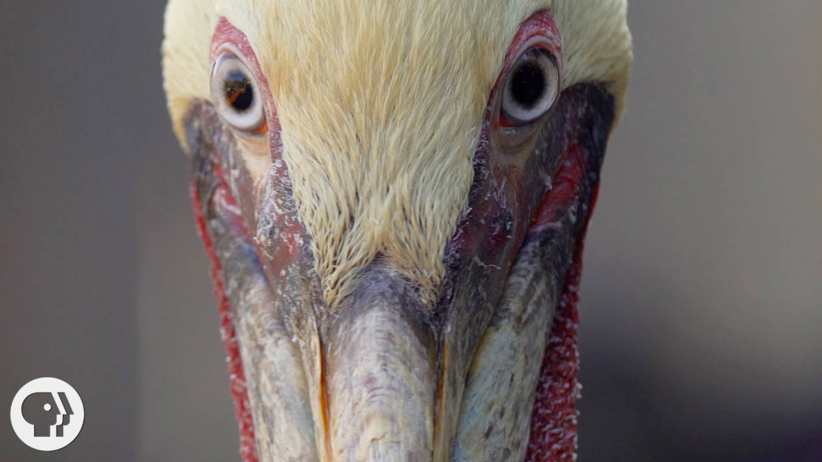 Volunteer Brown Pelican Count Aims to Measure Recovery of Once-Endangered Birds