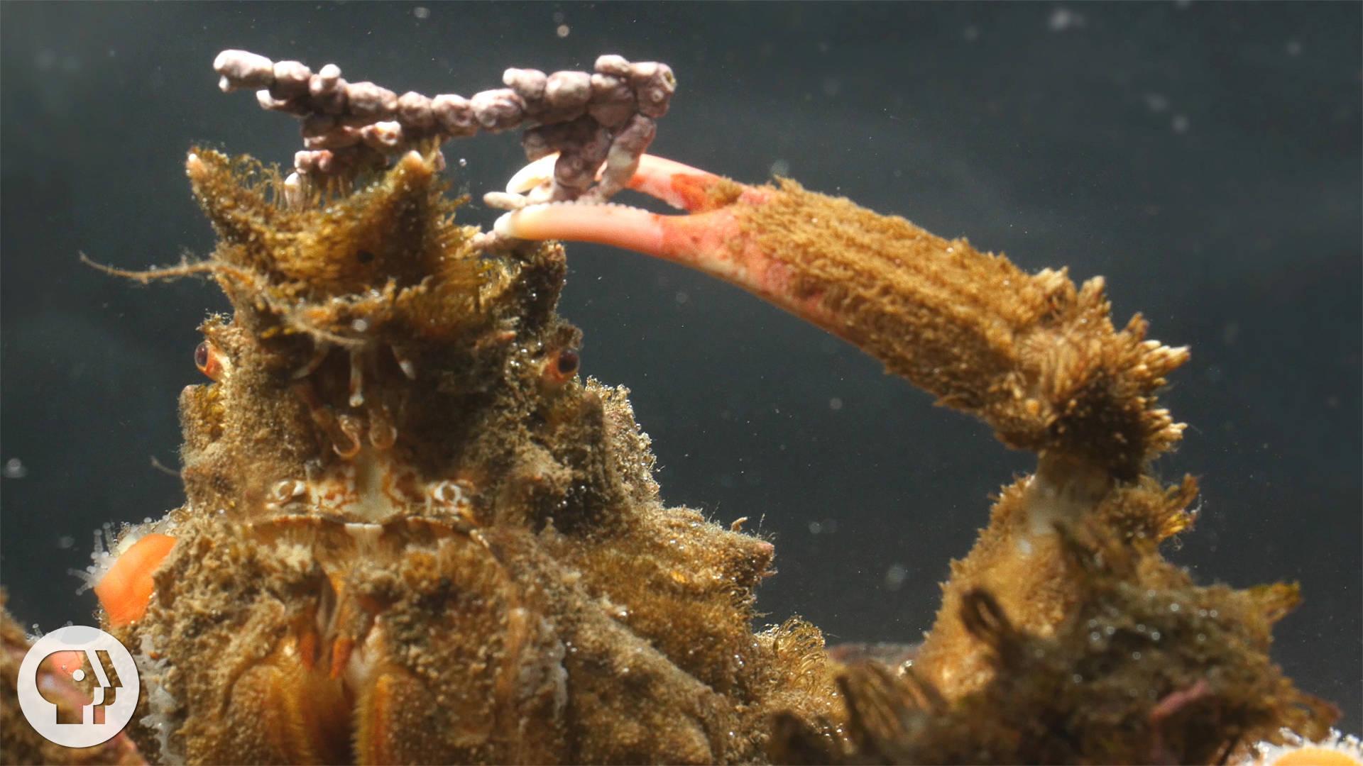 in crab camouflage at cruz decor decorator naturetime marine discovery with poms photo seymour pom center santa