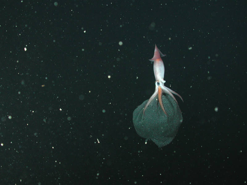 The squid Gonatus onyx uses hooks under her arms to hold her egg mass as she drifts in the deep sea.