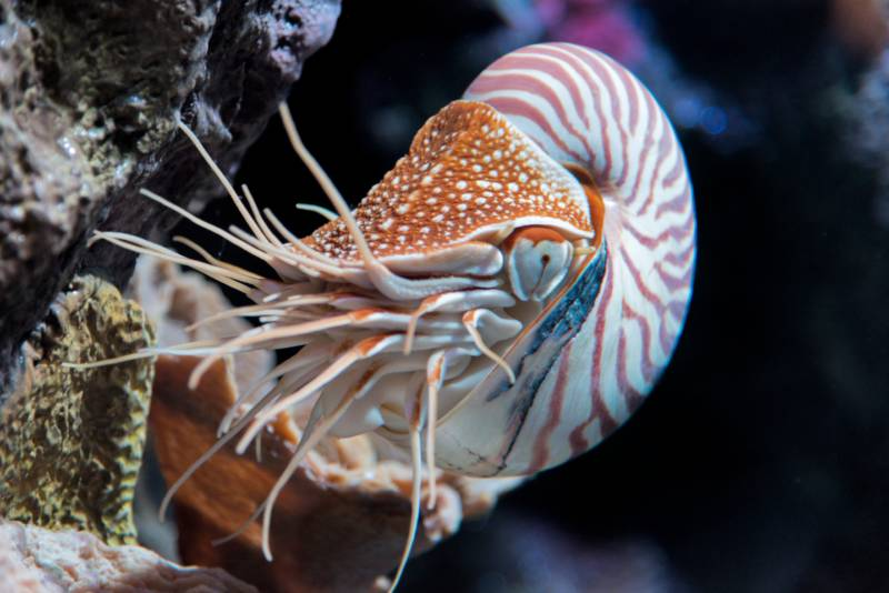 The chambered nautilus (Nautilus pompilius) is found in tropical waters and maybe even your local aquarium.