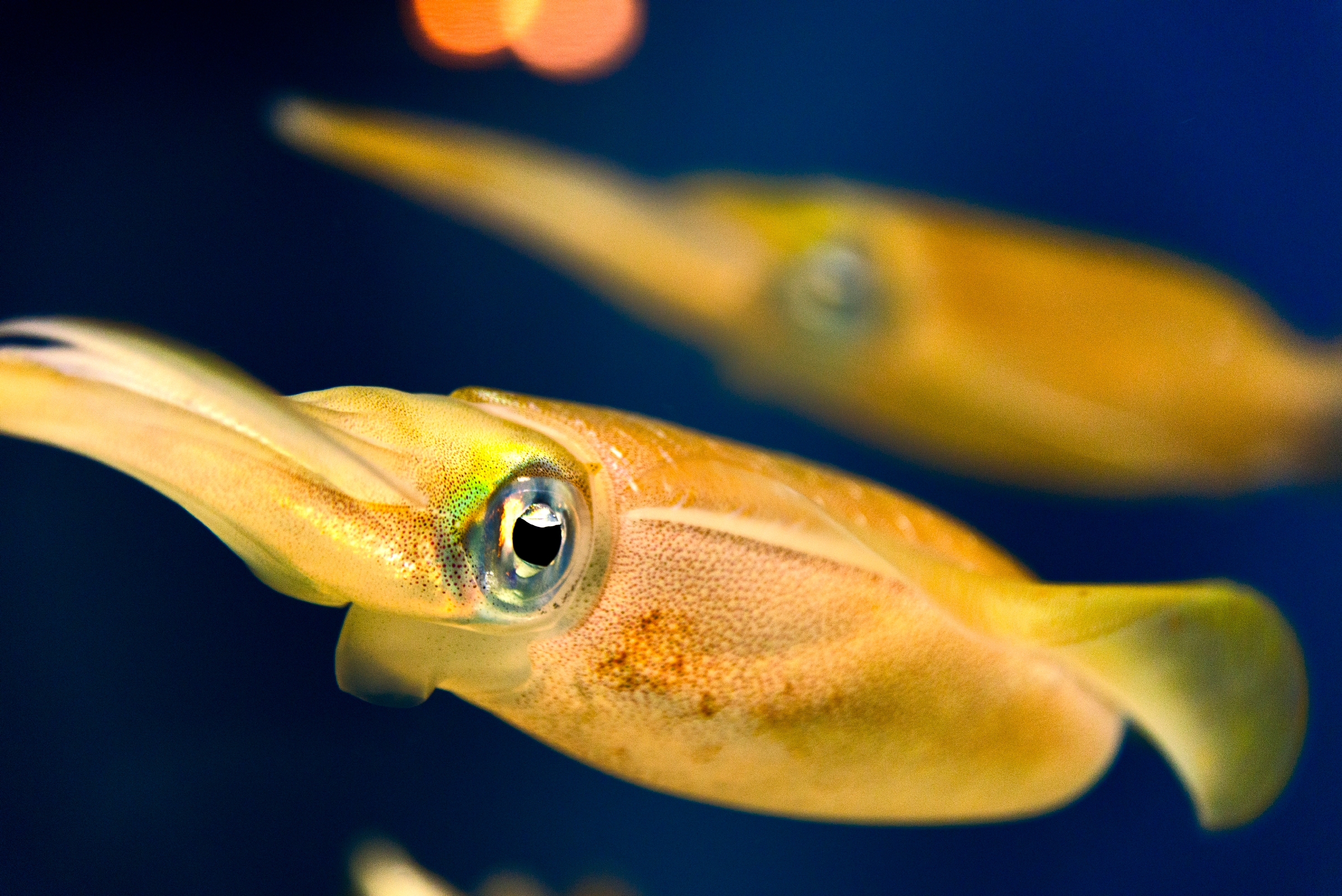 Big Fin Reef Squid