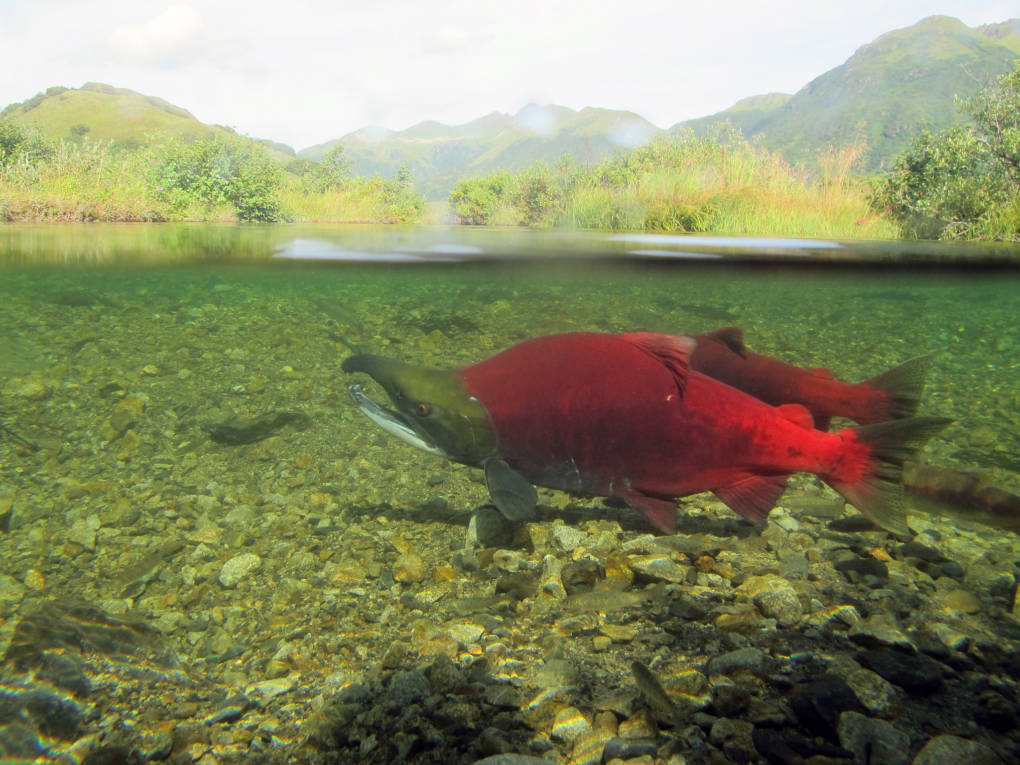 Two red fish swimming in a river.