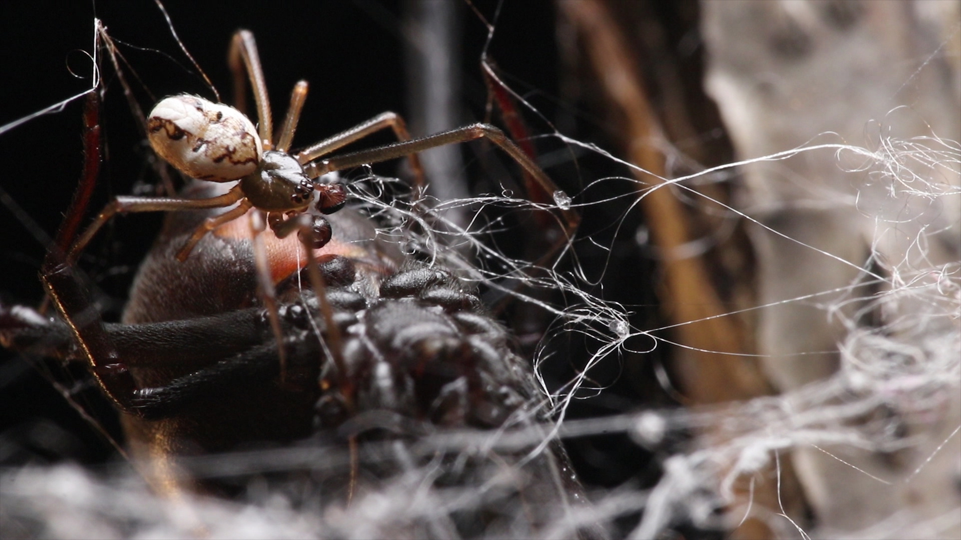 Why the Male Black Widow Spider Is a Real Home Wrecker | KQED