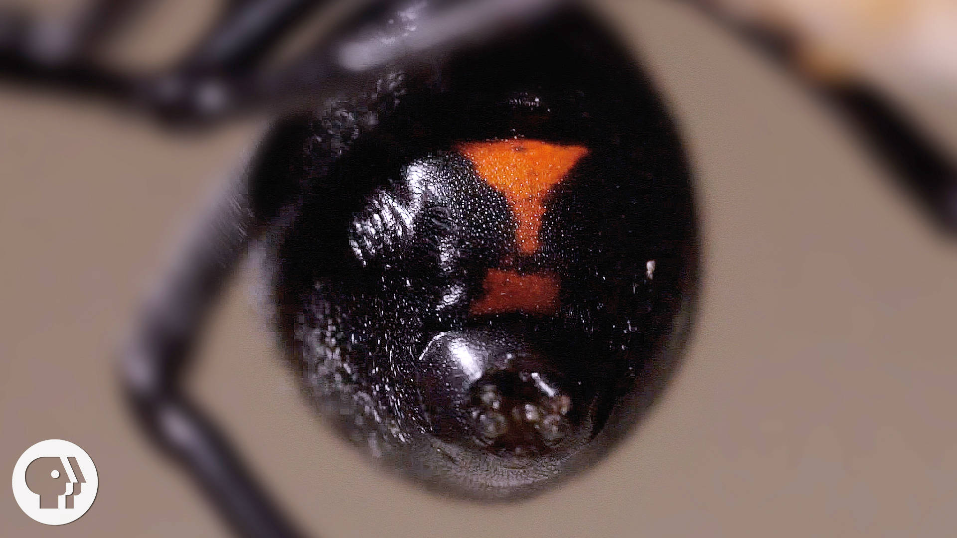Why The Male Black Widow Spider Is A Real Home Wrecker Deep Look