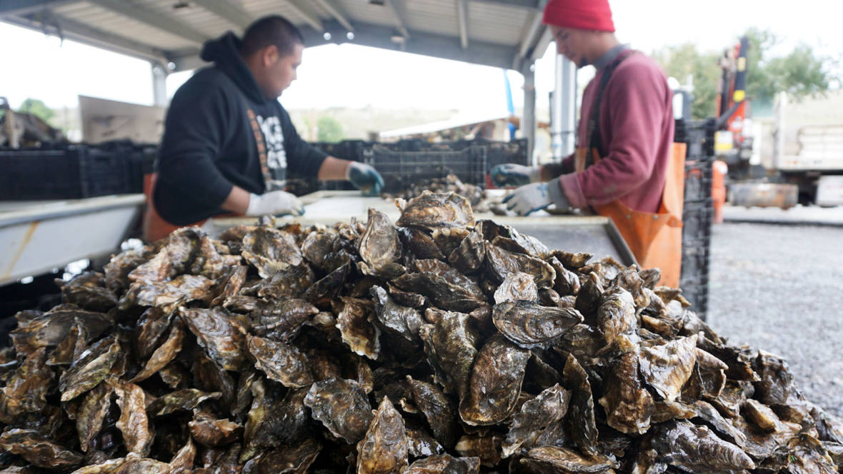 The Lowly Seagrass That Could Save Your Oysters From Climate Change