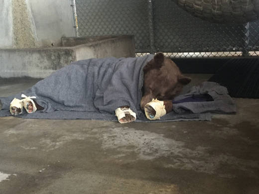 A bear with bandaged burned paws rests while wrapped in a blanket.