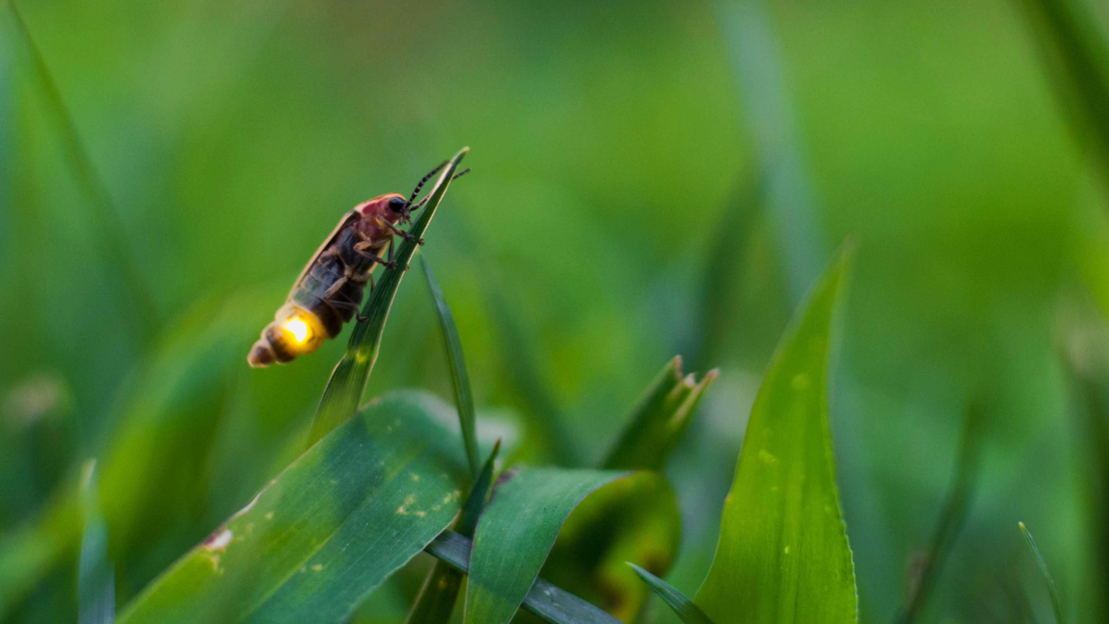 firefly insect video