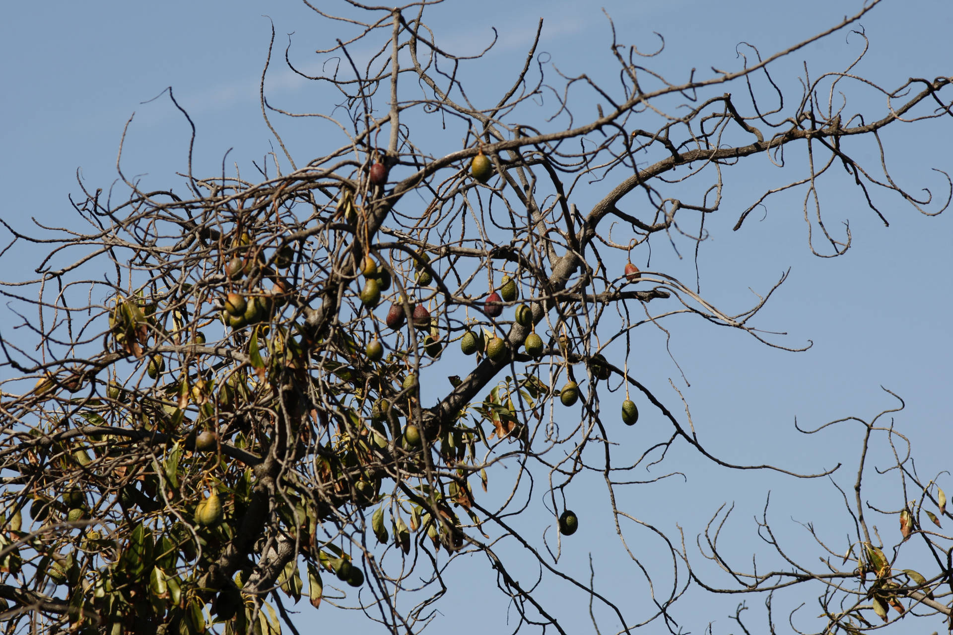 Avocados hang from a dying tree on March 5, 2014 near Valley Center, California.  David McNew/Getty Images