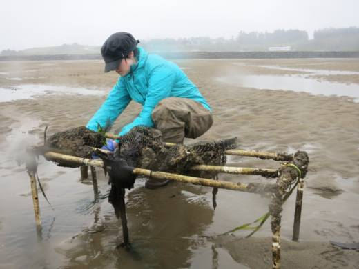 Woman bends over a bag of oysters on a tidal flat.
