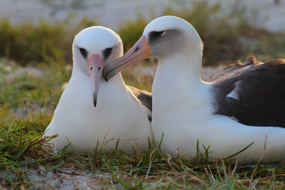 Love Is an Albatross. Literally. Watch These Birds Do a Courtship Dance