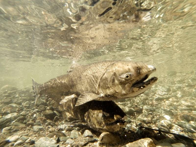 New Report Sparks Debate: Delta Tunnels Could Help Save Fish Species