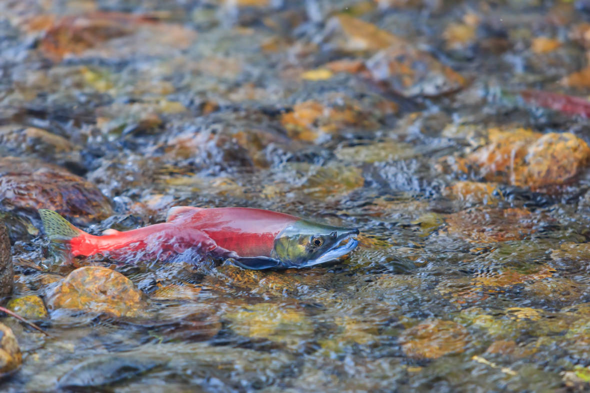 Salmon Will Have Places To Chill With Dam Removal