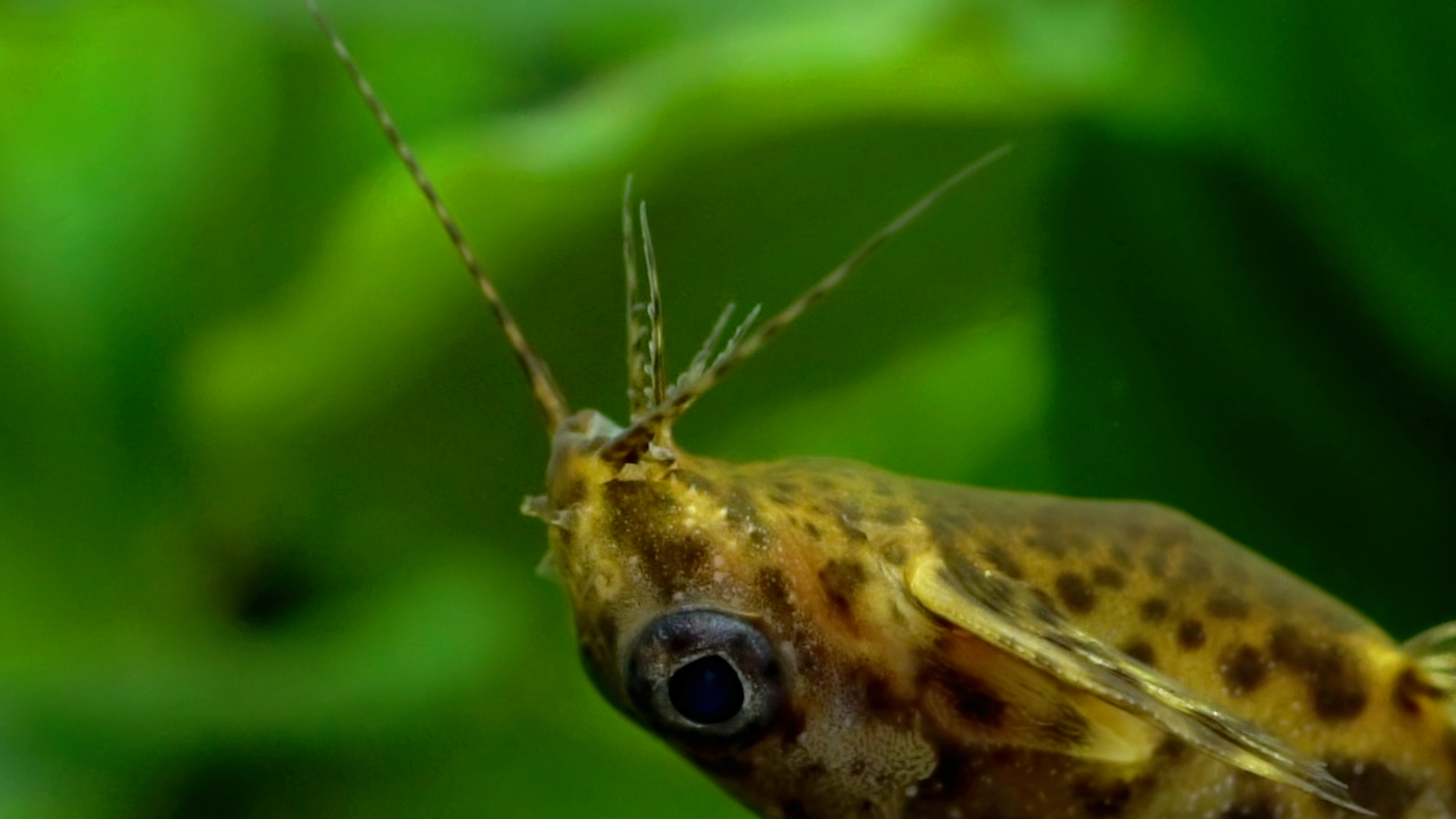 The Mystery of the Upside-Down Catfish | Deep Look | KQED