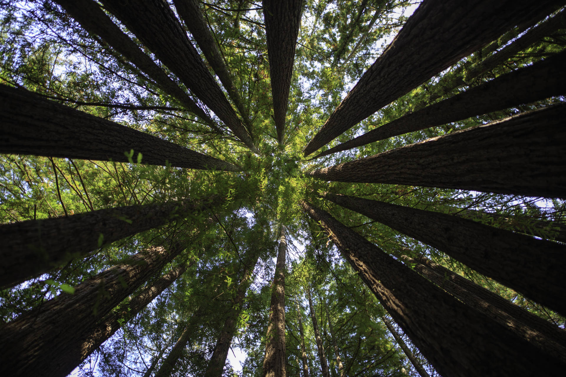 A picture taken in the middle of a circle of sequoia trees, looking up. iStock