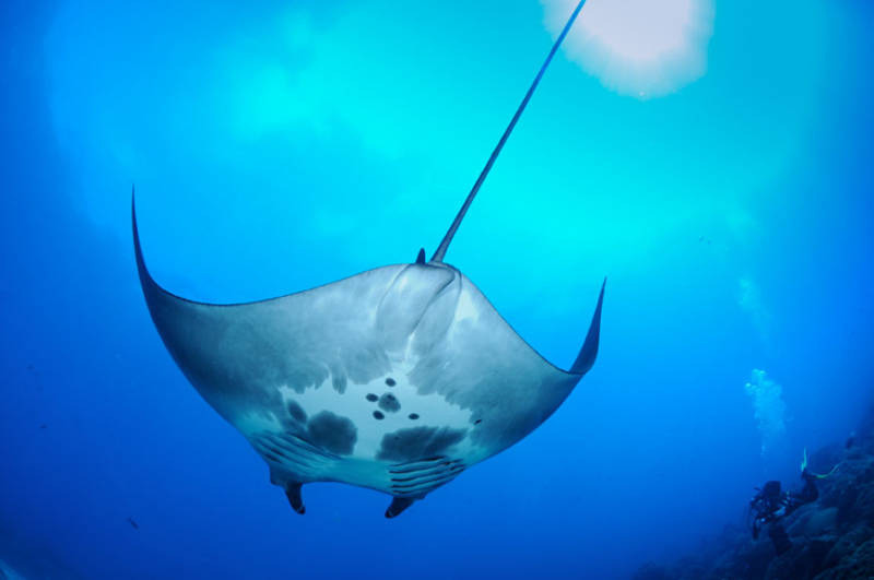 VIDEO: First-Ever Views of Manta Rays Swimming With Young