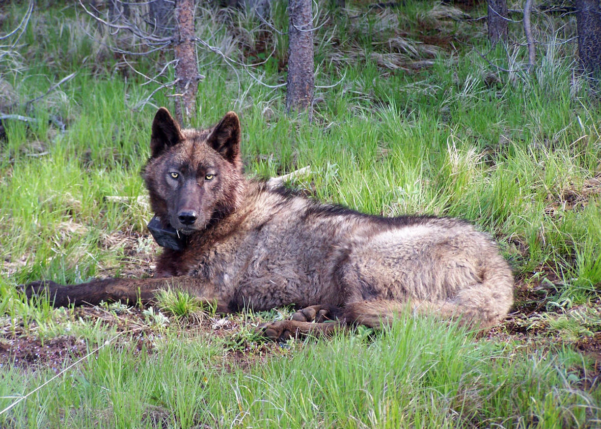 California Comeback for Gray Wolf Hits Farthest Point South
