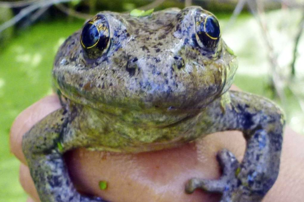 Clean Streams Key to Aiding Endangered Frogs in California