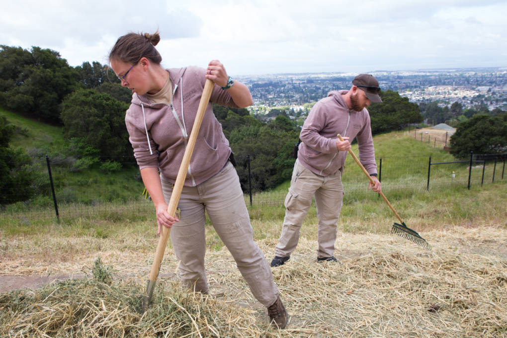 Heather Paddock and her fellow zookeeper rake old hay away from the feeding areas for the zoo's fourteen American bison.