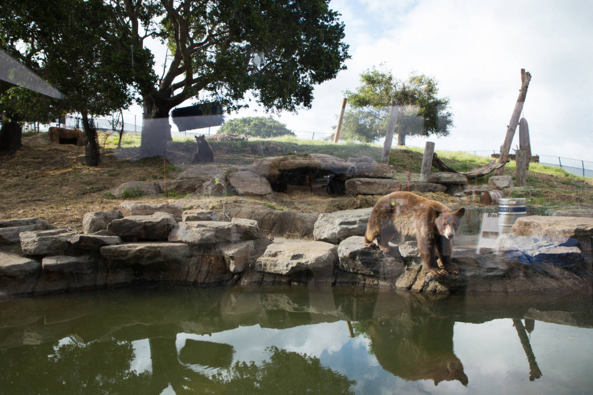 Oakland Zoo Makes Room for Big Predators. But Is it Enough?