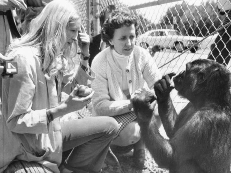 Koko The Gorilla Dies; Redrew The Lines Of Animal-Human Communication